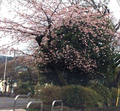 桜木公園さくら1