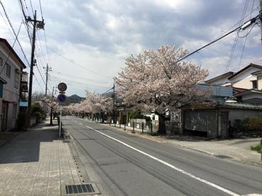 nagatorosakura02.jpg