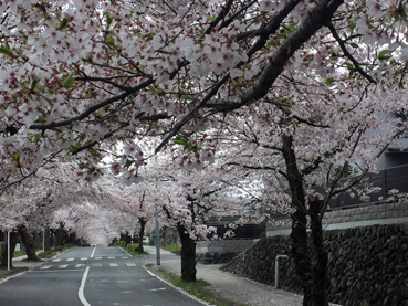 nagatorosakura11.jpg