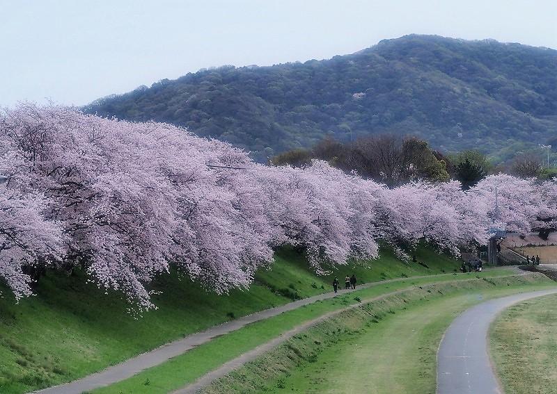 旭川さくら道の桜1