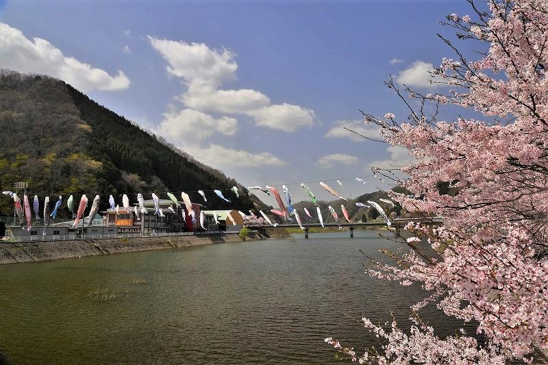 三休公園の桜34