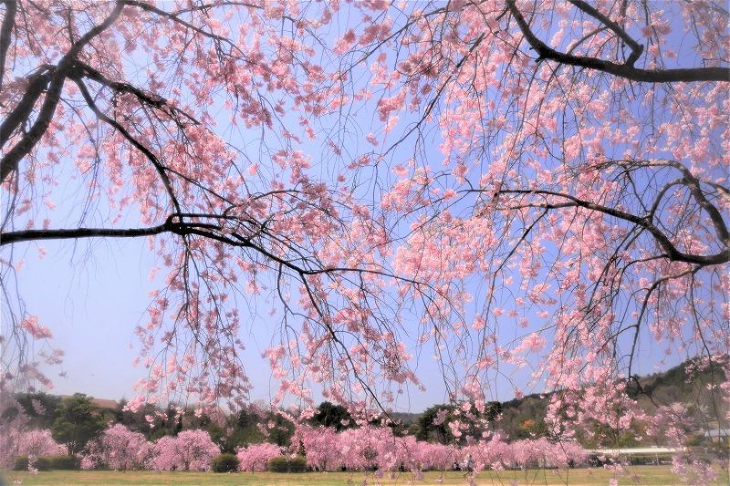 たけべの森の枝垂れ桜7