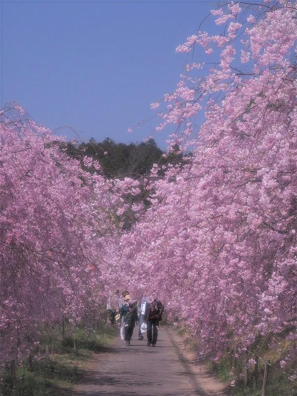 たけべの森の枝垂れ桜13