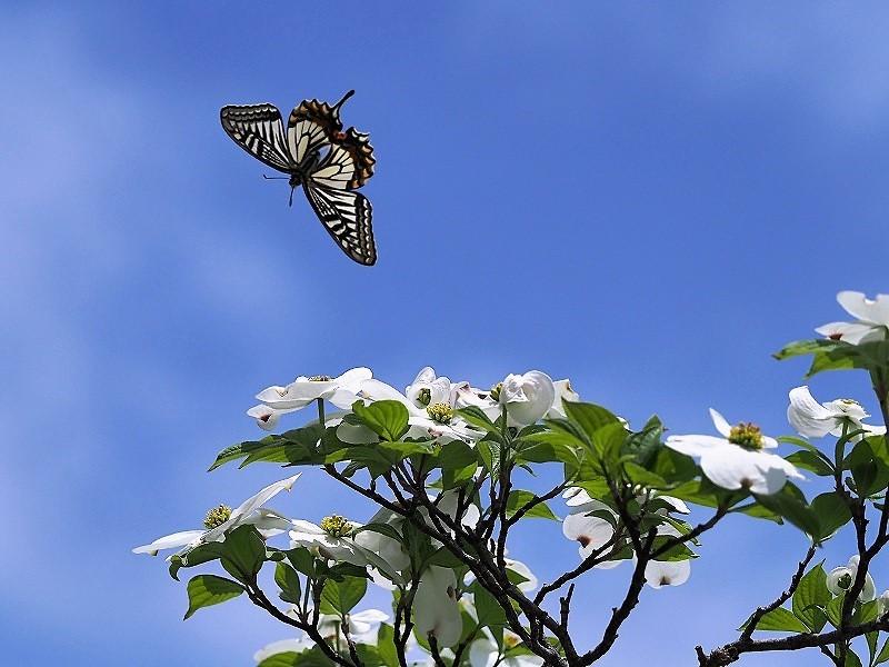 花水木と蝶2