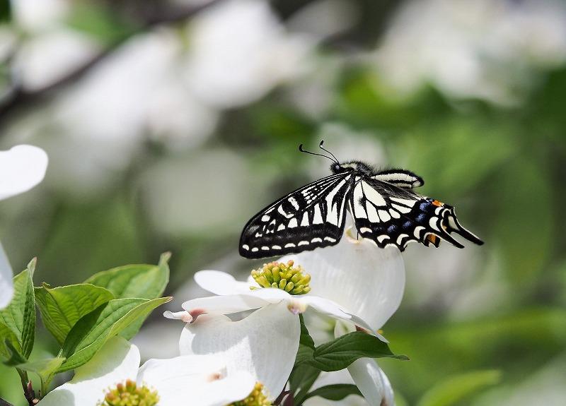 花水木と蝶8