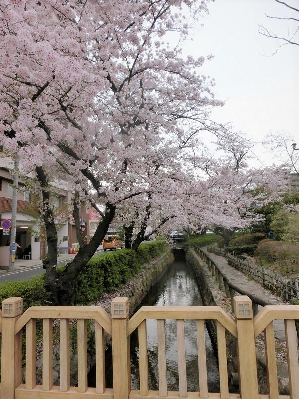 枝川緑道公園の桜8t
