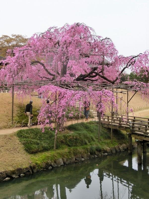 枝垂れ桜2t