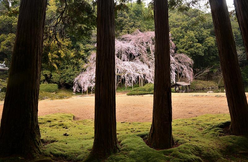 曹源寺の枝垂れ桜4