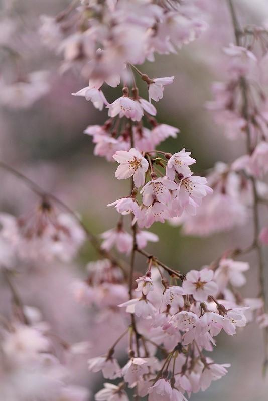 曹源寺の枝垂れ桜10