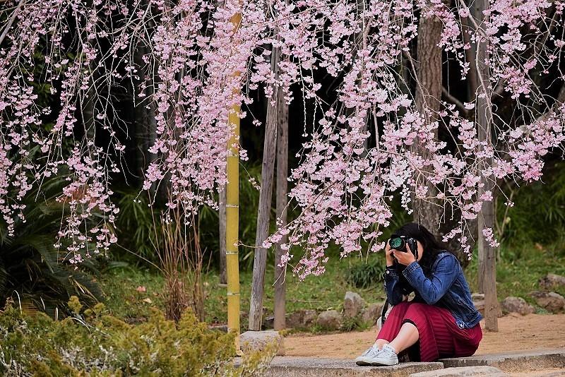 曹源寺の枝垂れ桜9