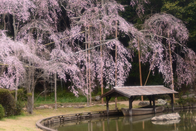 曹源寺の枝垂れ桜7