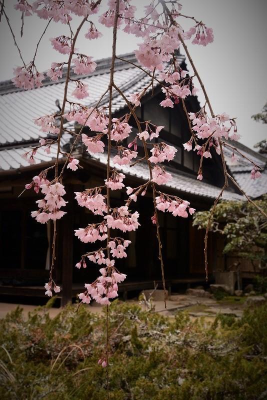 曹源寺の枝垂れ桜12