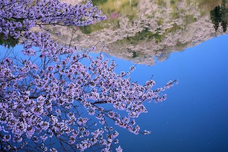 三休公園の桜5