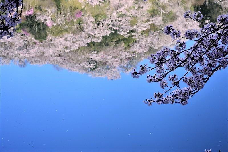 三休公園の桜6