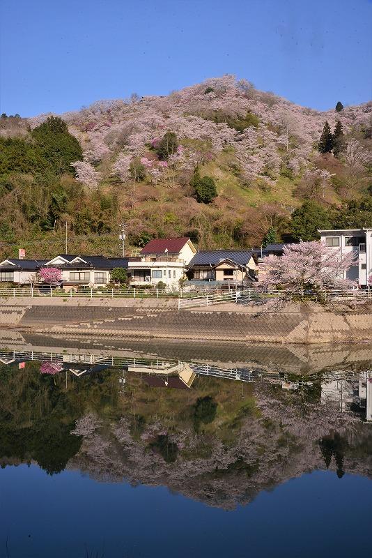 三休公園の桜4t