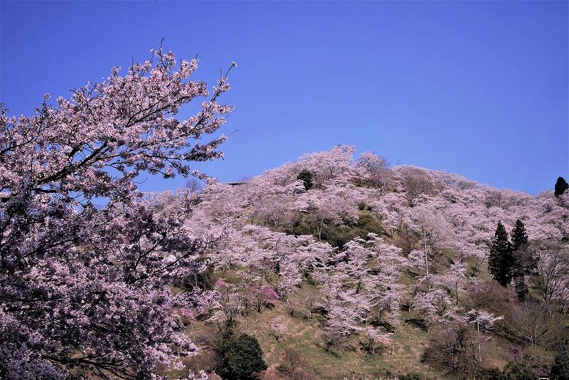 三休公園の桜2