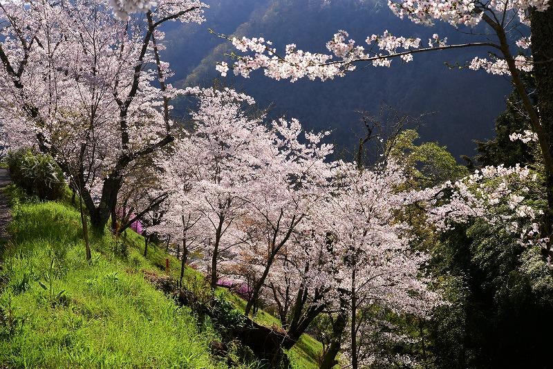 三休公園の桜11