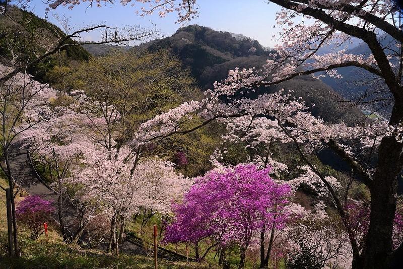 三休公園の桜13