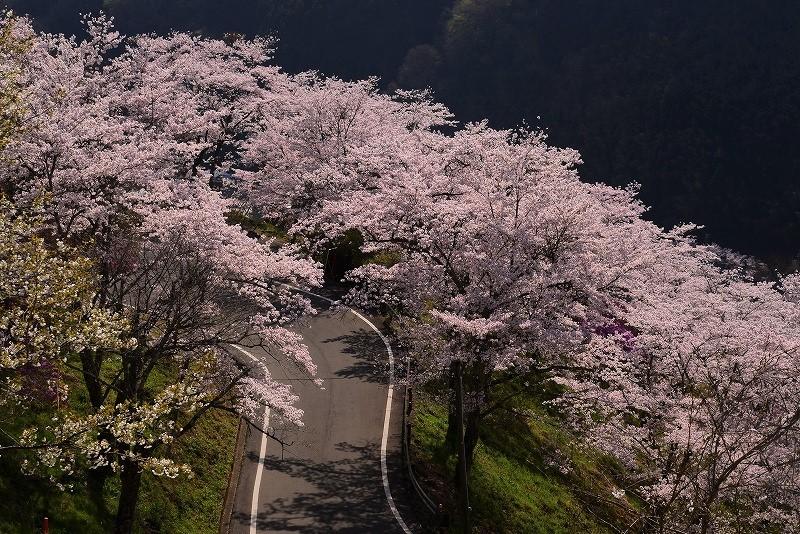 三休公園の桜15