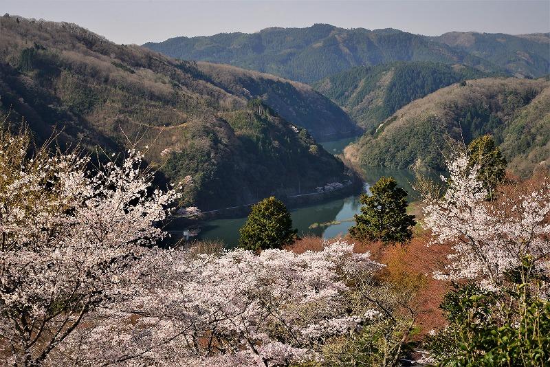 三休公園の桜17
