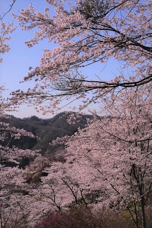 三休公園の桜18