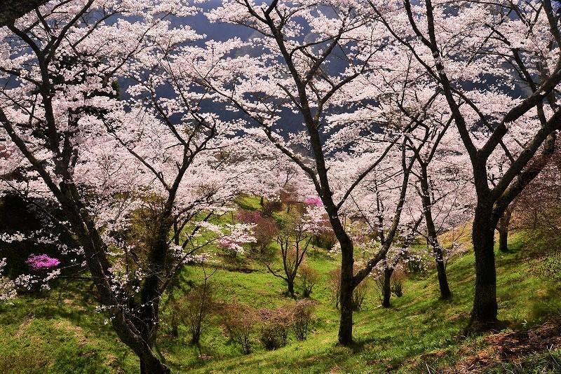 三休公園の桜19