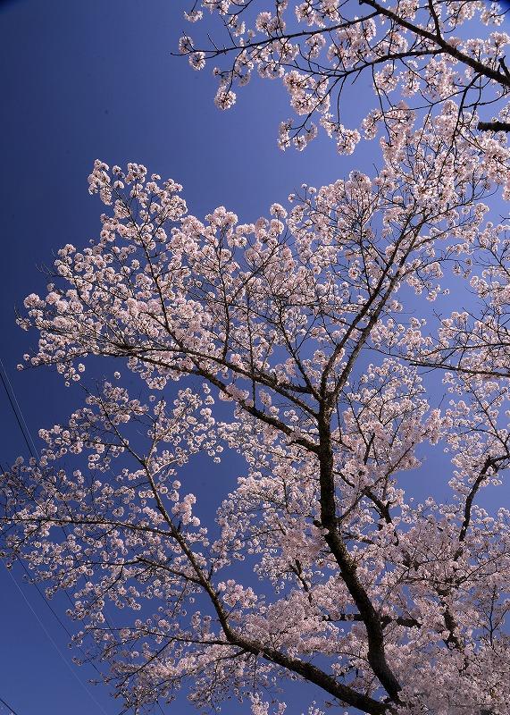 三休公園の桜20
