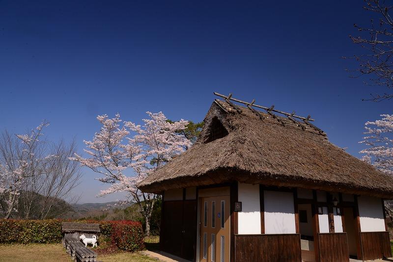 三休公園の桜22