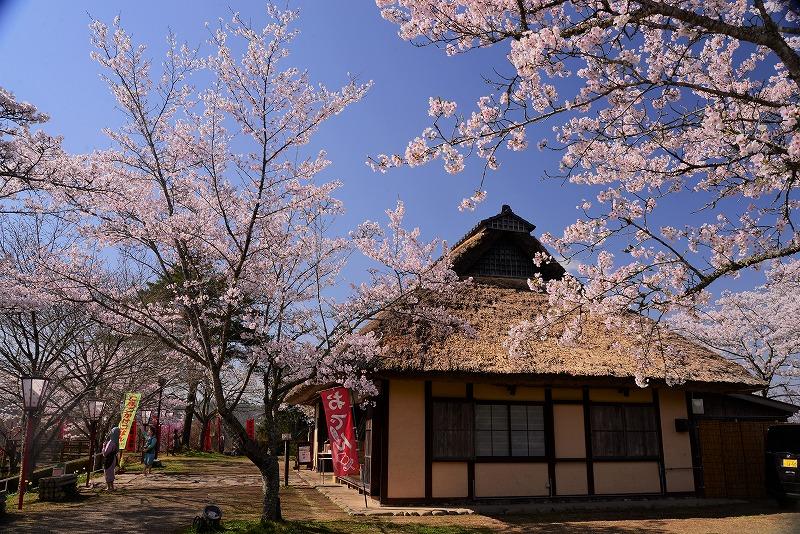 三休公園の桜21