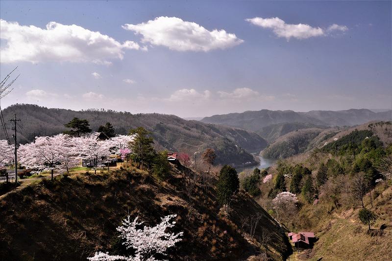 三休公園の桜24