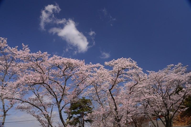 三休公園の桜25