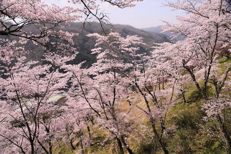 三休公園の桜29