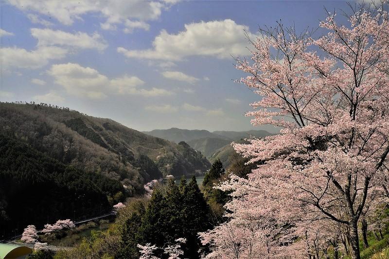 三休公園の桜31