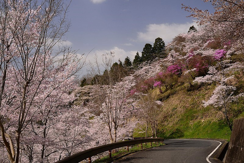 三休公園の桜32