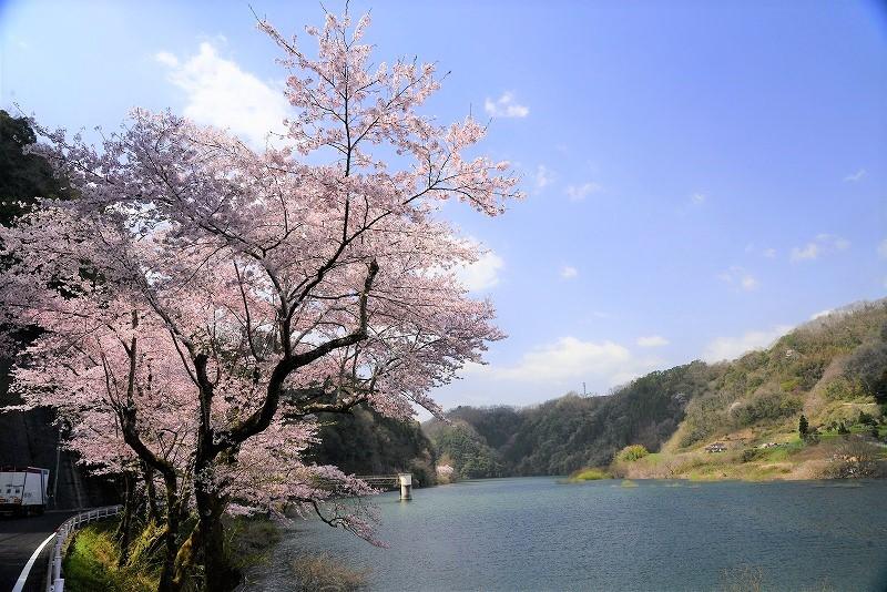 旭川ダム湖の桜1