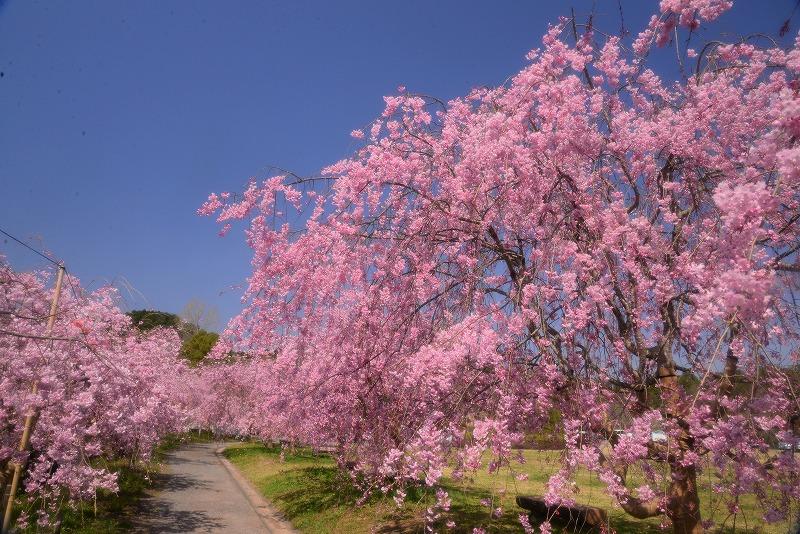 たけべの森の枝垂れ桜1