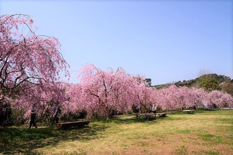 たけべの森の枝垂れ桜4