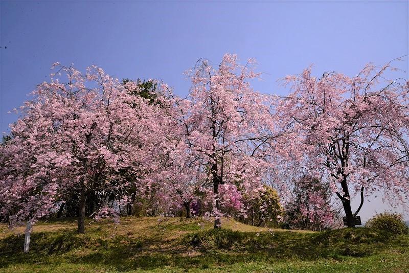 たけべの森の枝垂れ桜6