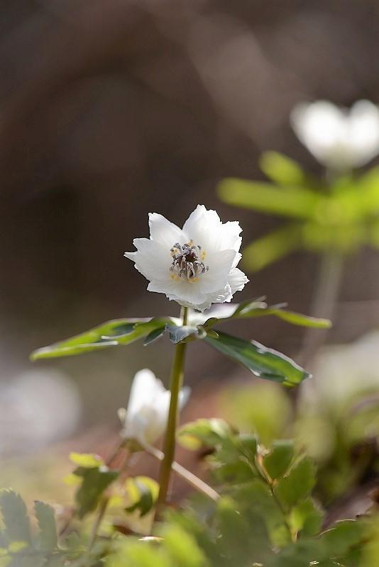 13枚以上の八重咲き節分草3
