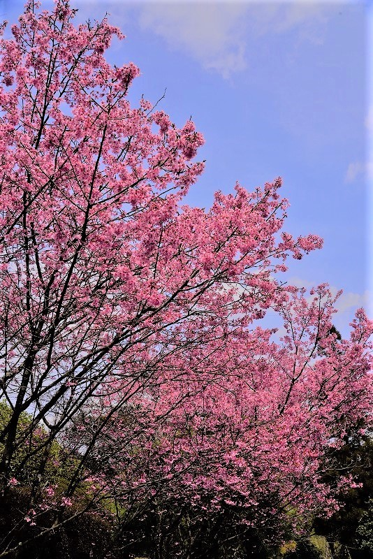 オカメ桜2t