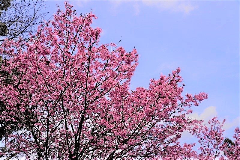 オカメ桜1