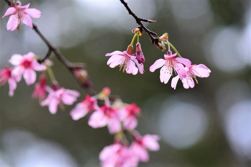 オカメ桜5