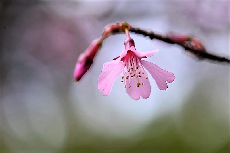 オカメ桜8