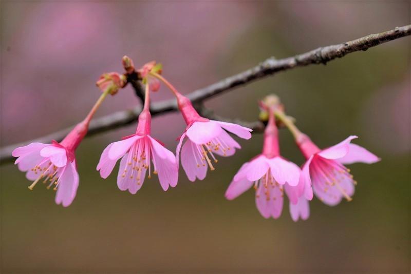 オカメ桜7