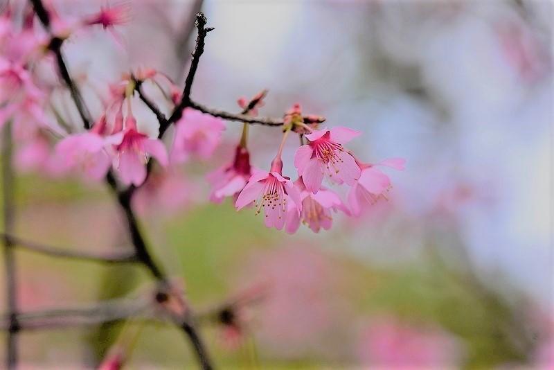 オカメ桜6