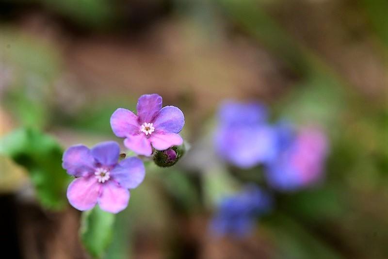 ヤマルリ草1