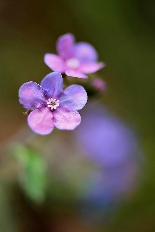 ヤマルリ草2