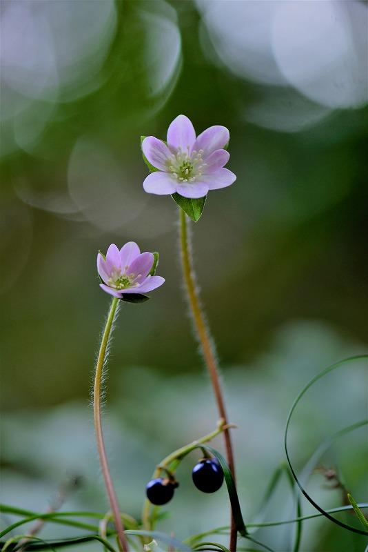 スハマ草8