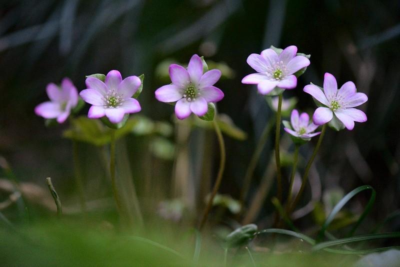 スハマ草1