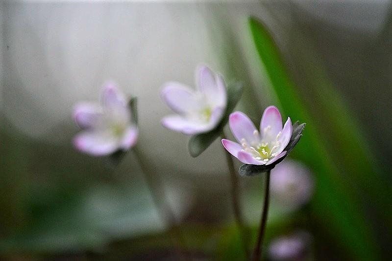 スハマ草11